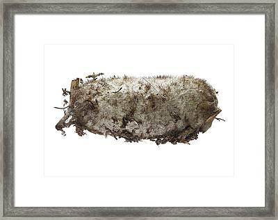Lappet Moth Pupa Framed Print by F. Martinez Clavel