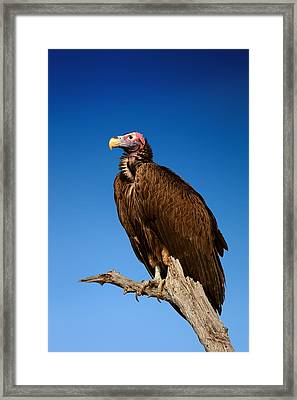 Lappetfaced Vulture Against Blue Sky Framed Print by Johan Swanepoel