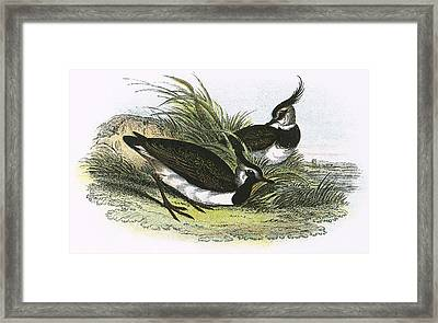 Lapwing Framed Print by English School