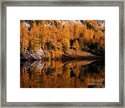 Larch Trees Reflected On Cooney Lake Framed Print by Tracy Knauer