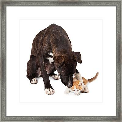 Large Dog Playing With Kitten Framed Print by Susan Schmitz