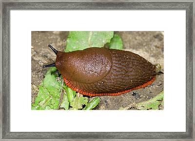 Large Red Slug Framed Print by Nigel Downer