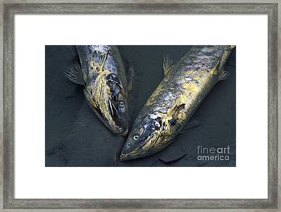 Late Run Salmon Framed Print by Ron Sanford