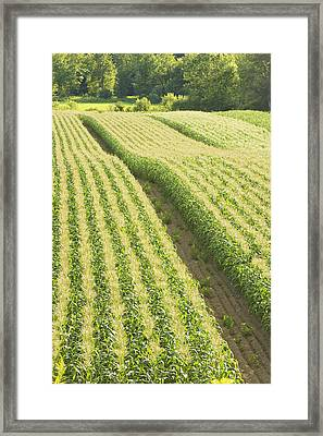 Late Summer Corn Field In Maine Framed Print by Keith Webber Jr