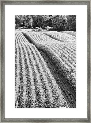 Late Summer Corn Field In Maine Photo Framed Print by Keith Webber Jr