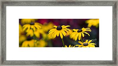 Late Summer Rudbeckia  Framed Print by Tim Gainey