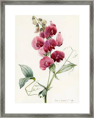 Lathyrus Latifolius Everlasting Pea Framed Print by Louise D Orleans