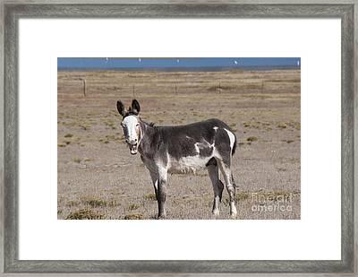 Laughing Donkey Framed Print by Juli Scalzi