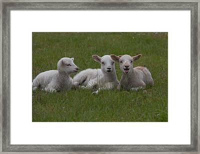 Laughing Lamb Framed Print by Richard Baker