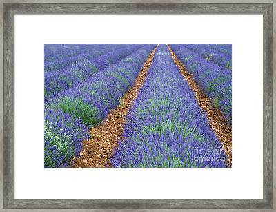 Lavendel 2 Framed Print by Arterra Picture Library