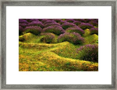 Lavender Fields Framed Print by Michelle Calkins