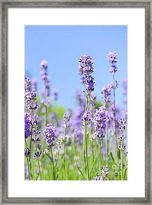 Lavender Flowering Framed Print by Elena Elisseeva