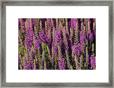Lavender Hues Framed Print by Rachel Cohen