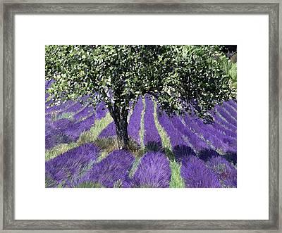 Lavender Pathways Framed Print by James Shepherd