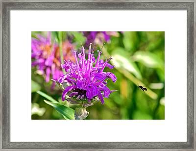 Lavender Pink Bee Balm Wild Bergamot Framed Print by Karon Melillo DeVega