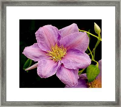 Lavender Pink Clematis Framed Print by Rona Black
