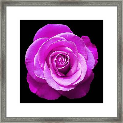Lavender Rose Framed Print by Aimee L Maher Photography and Art Visit ALMGallerydotcom