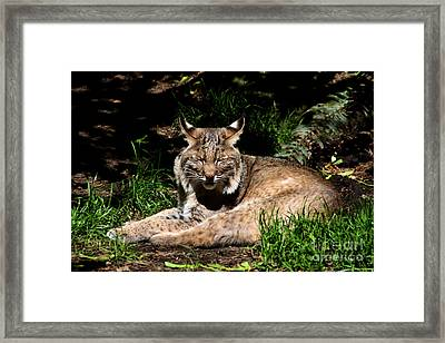 Lazy Bobcat In The Sun Framed Print by Nick Gustafson