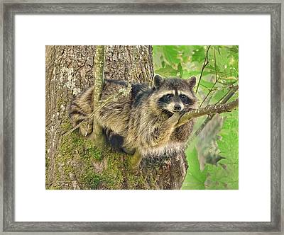 Lazy Day Raccoon Framed Print by Jennie Marie Schell