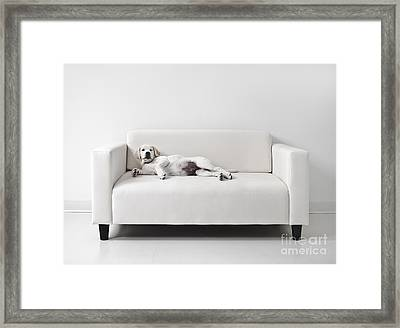 Lazy Dog On The Sofa Framed Print by Diane Diederich