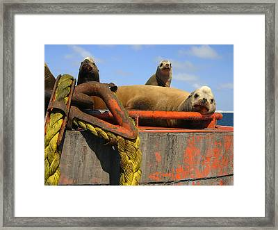 Lazy Sealions Framed Print by Doug Gould