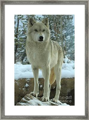Leader Of The Pack Framed Print by Adam Jewell