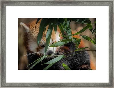 Leaf Eater Framed Print by Chris Fletcher