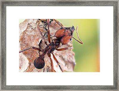Leafcutter Ant Framed Print by Nicolas Reusens