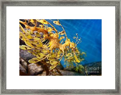 Leafy Sea Dragon Phycodurus Eques. Framed Print by Jamie Pham
