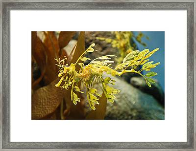 Leafy Sea Dragon Framed Print by Shane Kelly