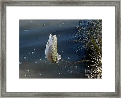 Airborne Rainbow Trout Framed Print by Ronald Gater