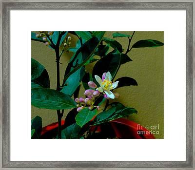 Lemon Tree Flower Framed Print by Al Bourassa