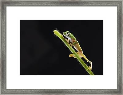 Lemur Leaf Frog Framed Print by Marianne Brouwer