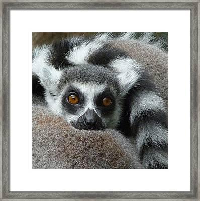 Lemur Leisure Time Framed Print by Margaret Saheed