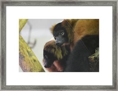 Lemur - National Zoo - 01131 Framed Print by DC Photographer