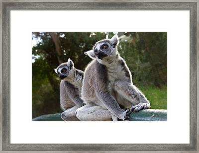 Lemurs Framed Print by Nadya Ost