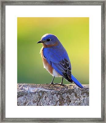 Lenore's Bluebird Framed Print by Robert Frederick
