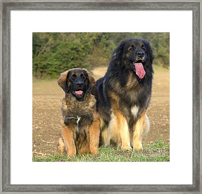 Leonberger Dogs Framed Print by Jean-Michel Labat