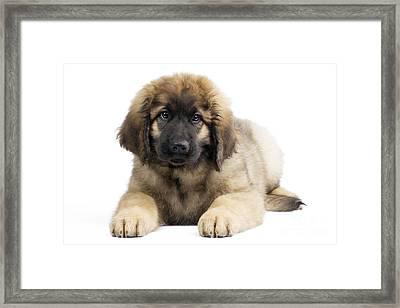 Leonberger Puppy Framed Print by Jean-Michel Labat