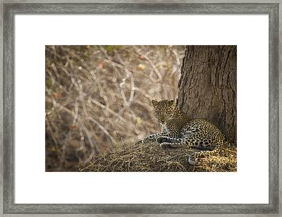 Leopard In Its Environment Framed Print by Alison Buttigieg
