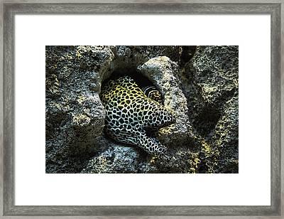 Leopard Moray Eel  Framed Print by Garry Gay