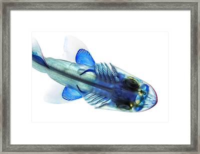Leopard Shark Framed Print by Adam Summers