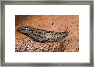 Leopard Slug Or Great Grey Slug Framed Print by Nigel Downer