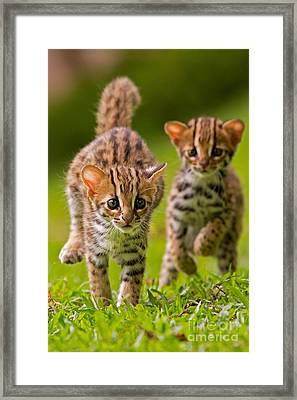 Leopard Stampede Framed Print by Ashley Vincent