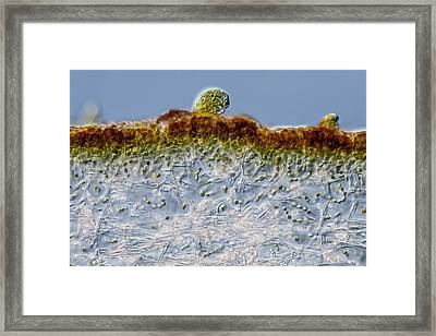 Leptogium Lichen Section Framed Print by Gerd Guenther