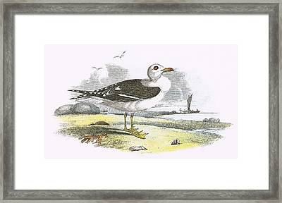 Lesser Black Backed Gull Framed Print by English School