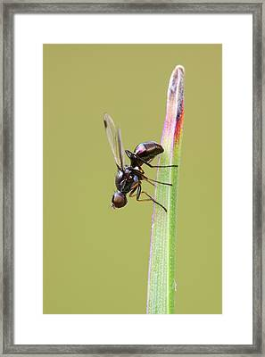 Lesser Dung Fly Framed Print by Heath Mcdonald