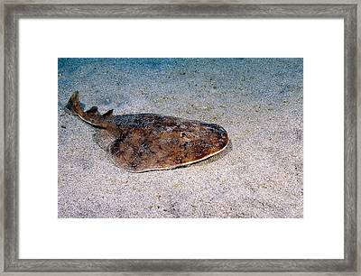 Lesser Electric Ray Framed Print by Andrew J. Martinez