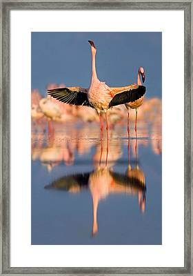 Lesser Flamingo Wading In Water, Lake Framed Print by Panoramic Images