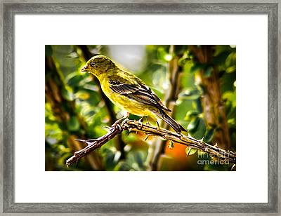 Lesser Goldfinch Framed Print by Robert Bales